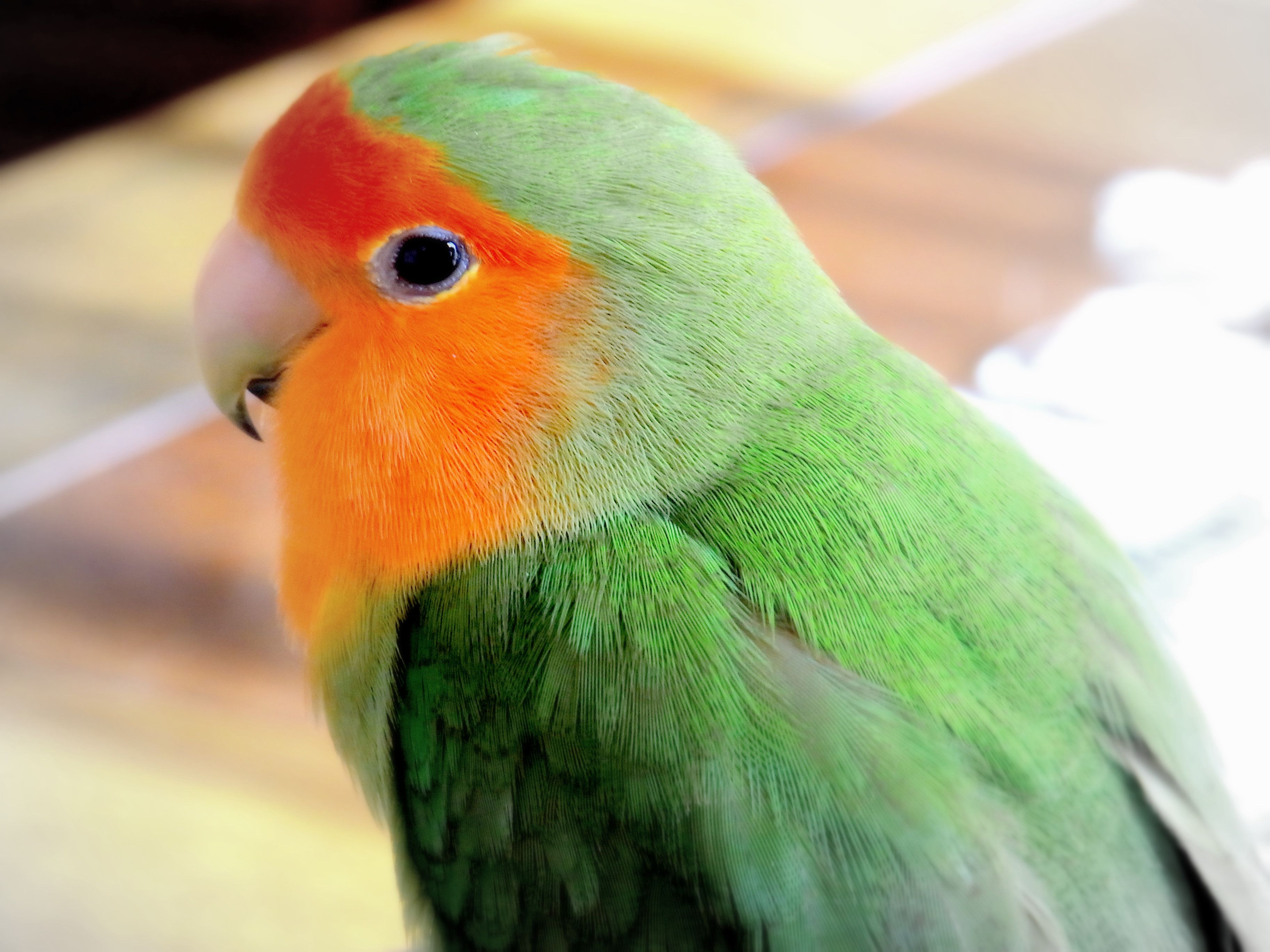 Peachfaced or Rosy Pictures of peach faced lovebirds