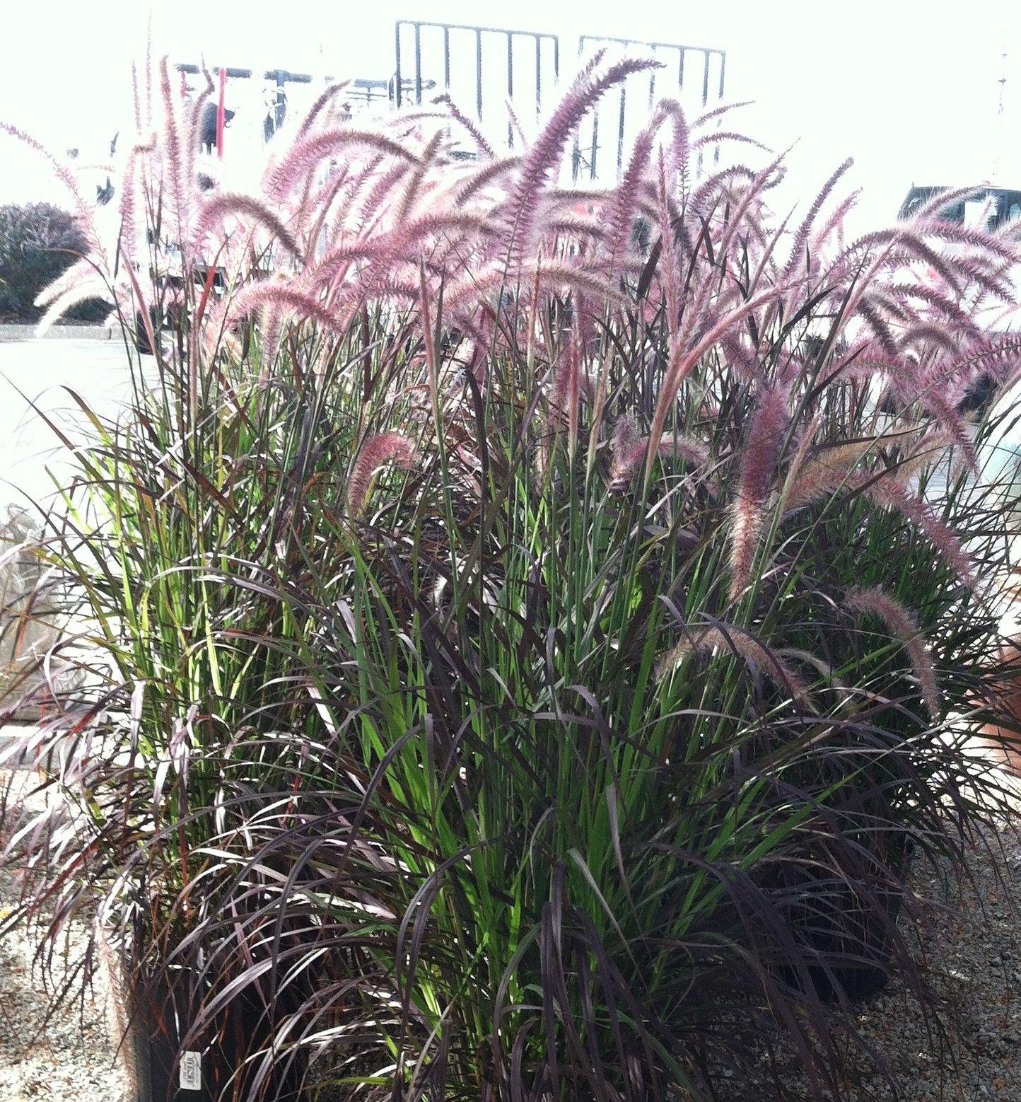 Love this ornamental grass plants flowers i like for Grass like flowering plants