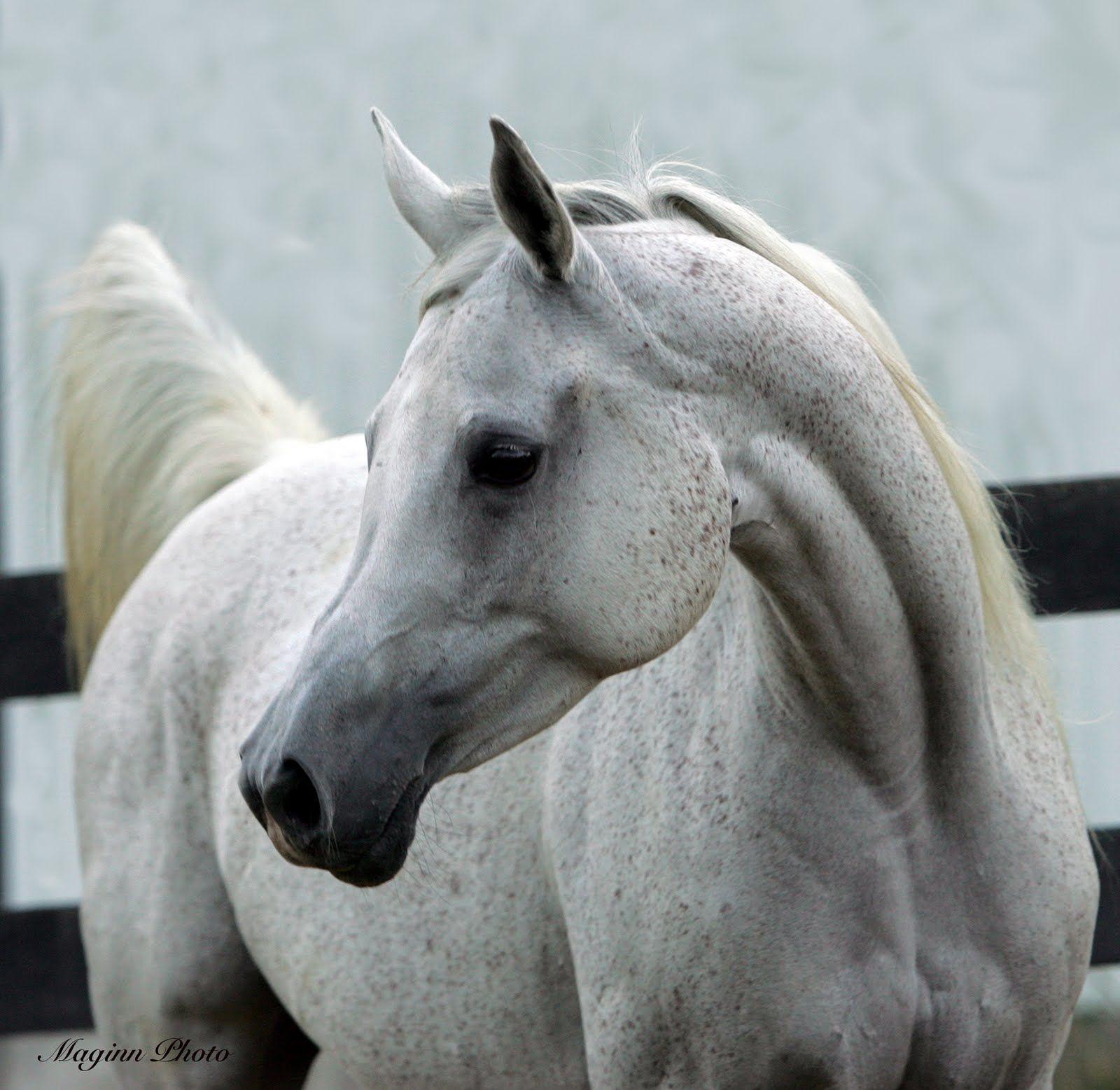 White arabian horse - photo#3