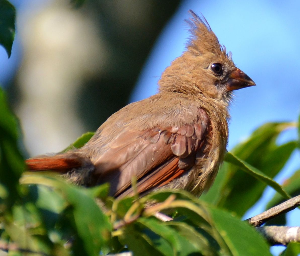 Baby female cardinal pictures