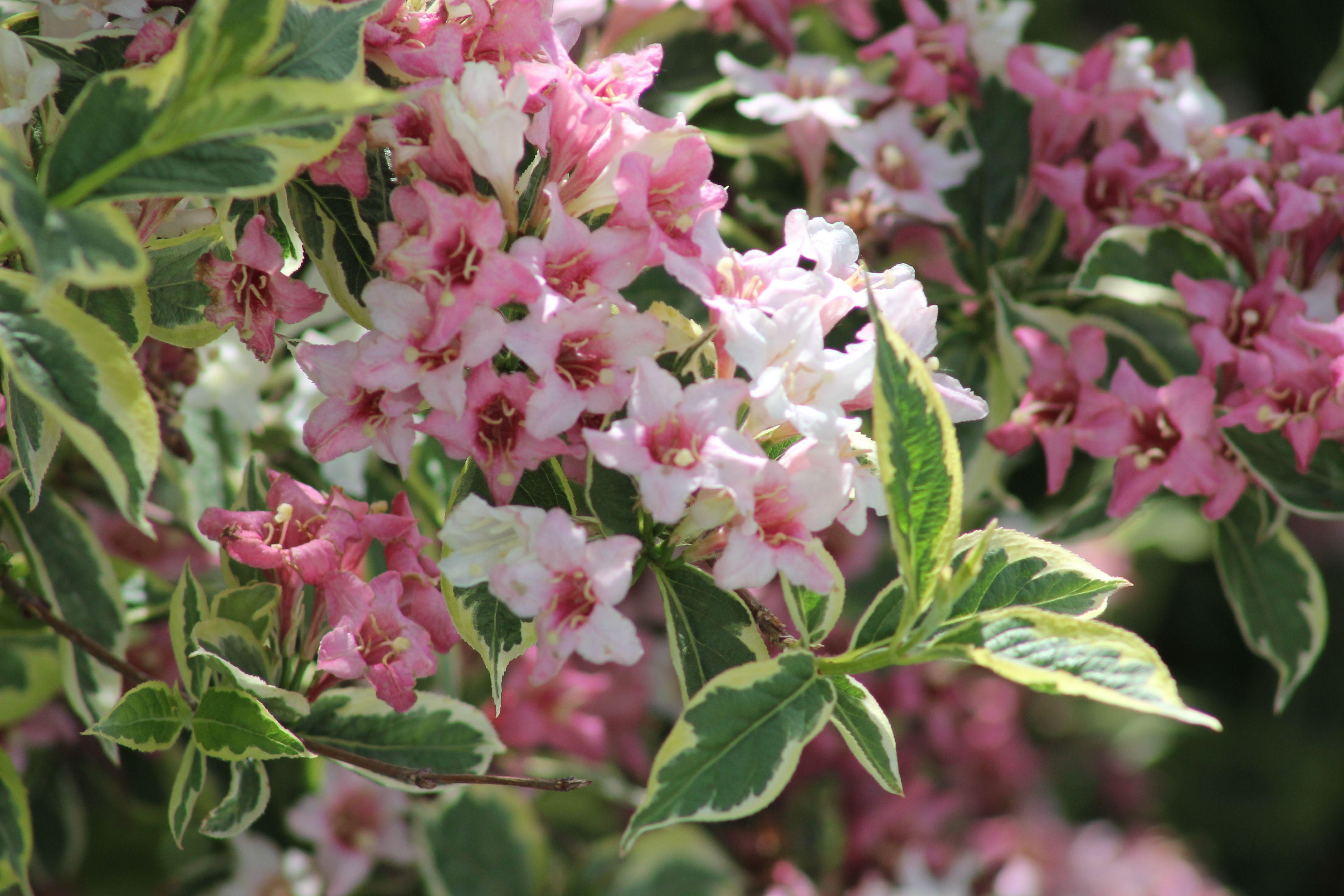Weigela Bush Names Of The Flowers In My Garden