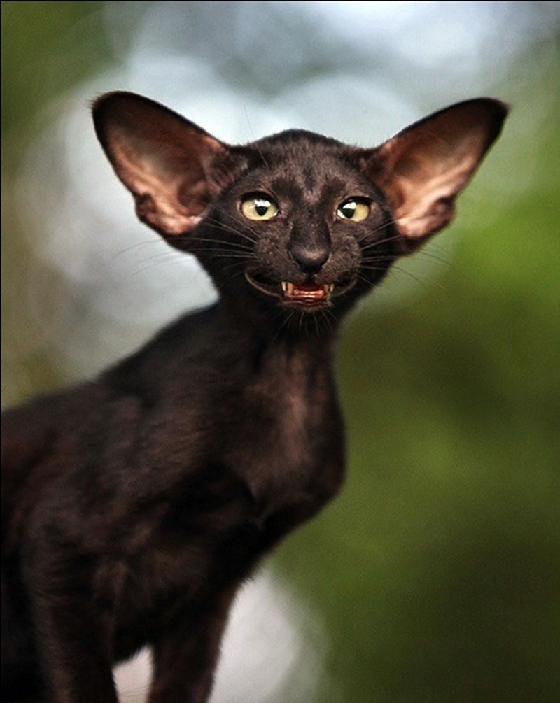 Oriental Shorthair Cats Pinterest