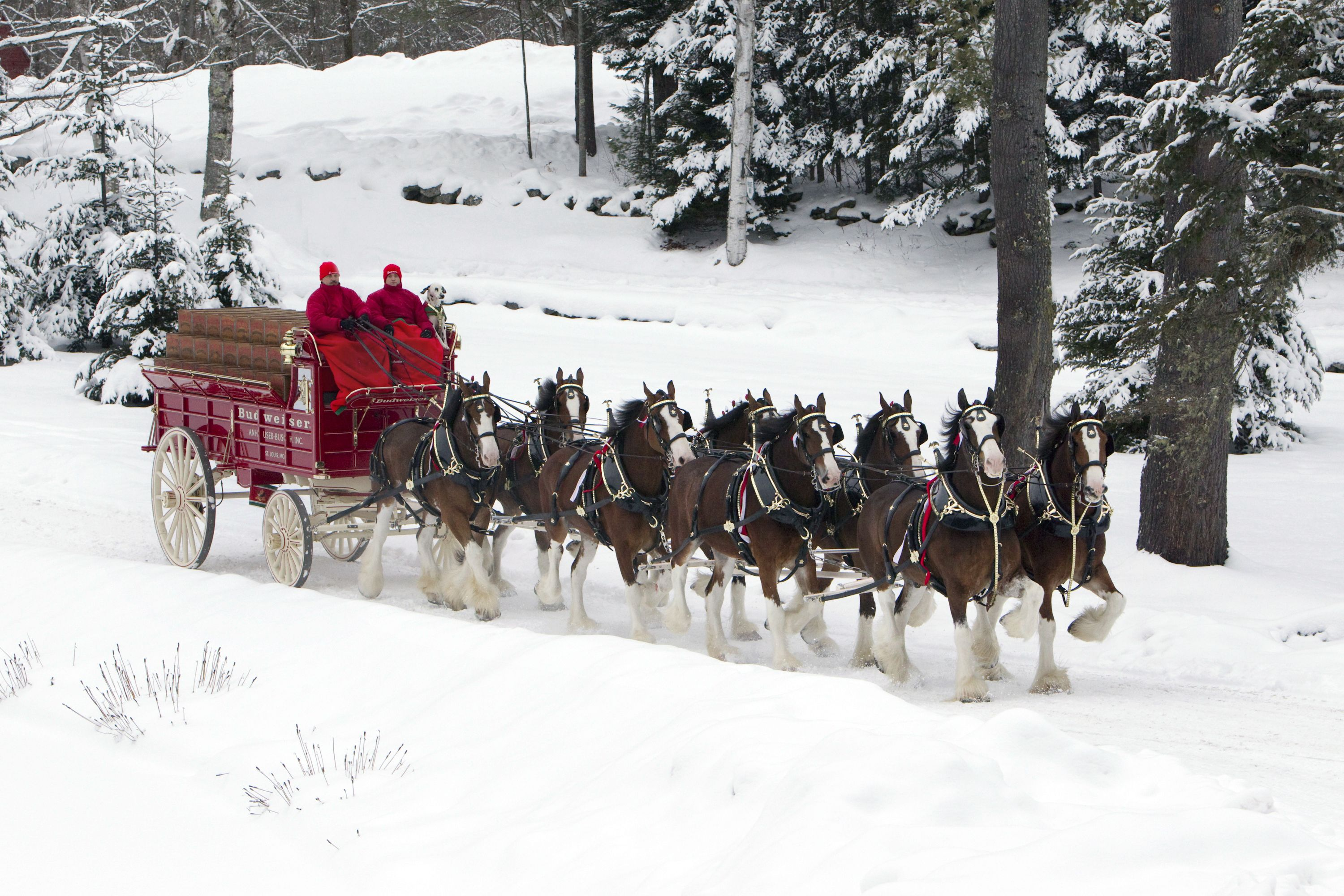 ShareBudweiser Clydesdales In Snow