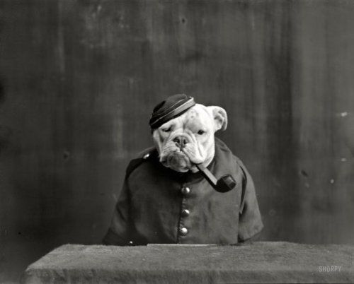 A bulldog dressed as