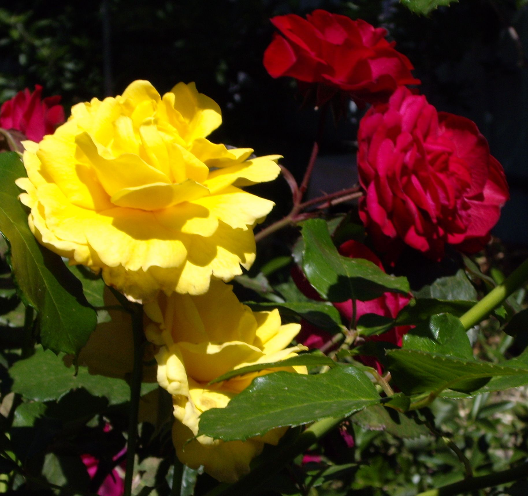 Yellow and Red roses on the same bush. | From Our Garden | Pinterest