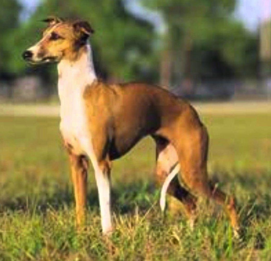 Pin by Dog Breeds on Mudhol Hound / Hortaya Borzaya ...