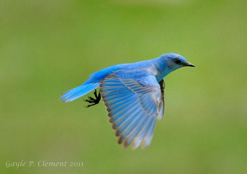 Flying blue bird