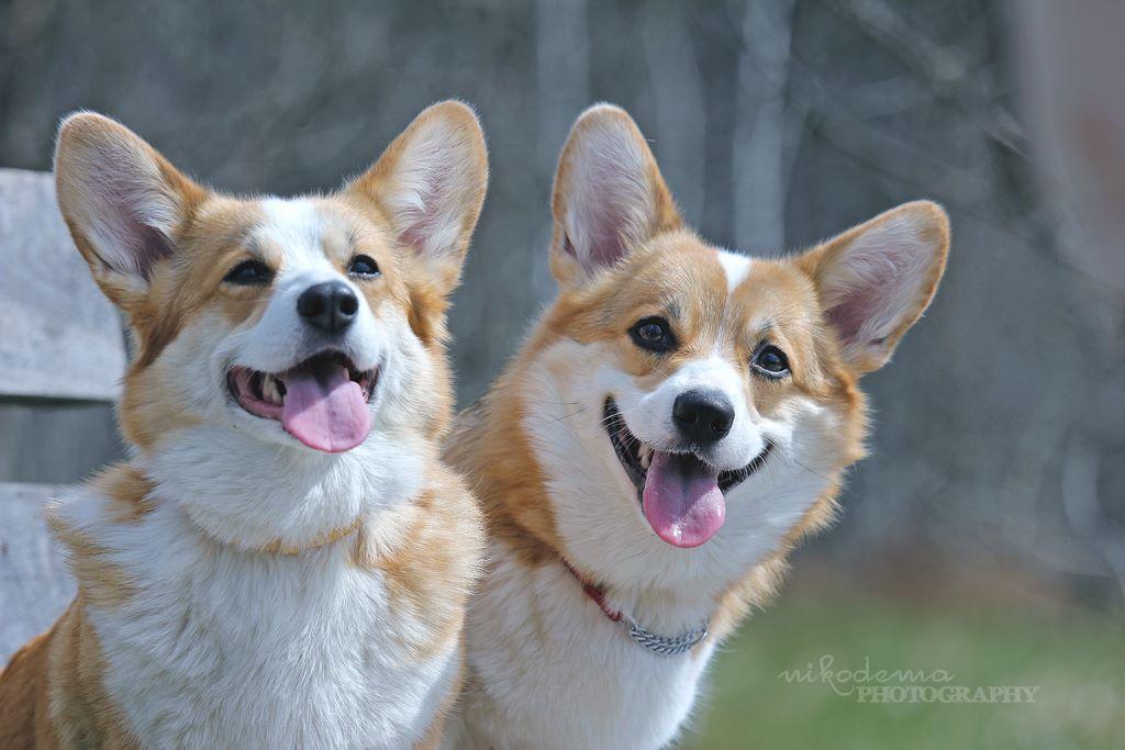 Such happy, beautiful Corgis! | Corgis | Pinterest
