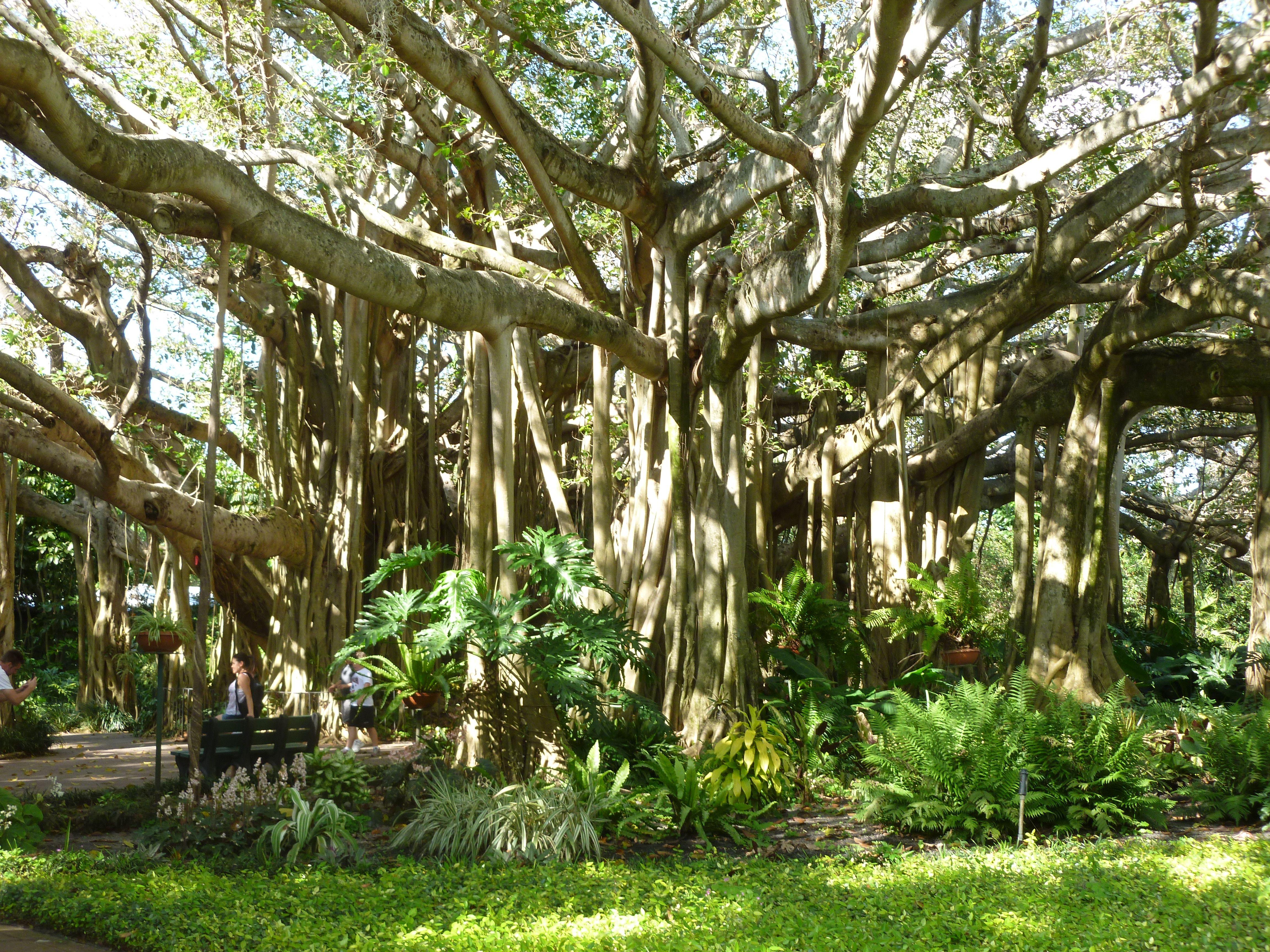 Amazing Banyan Tree At Cypress Gardens Mother
