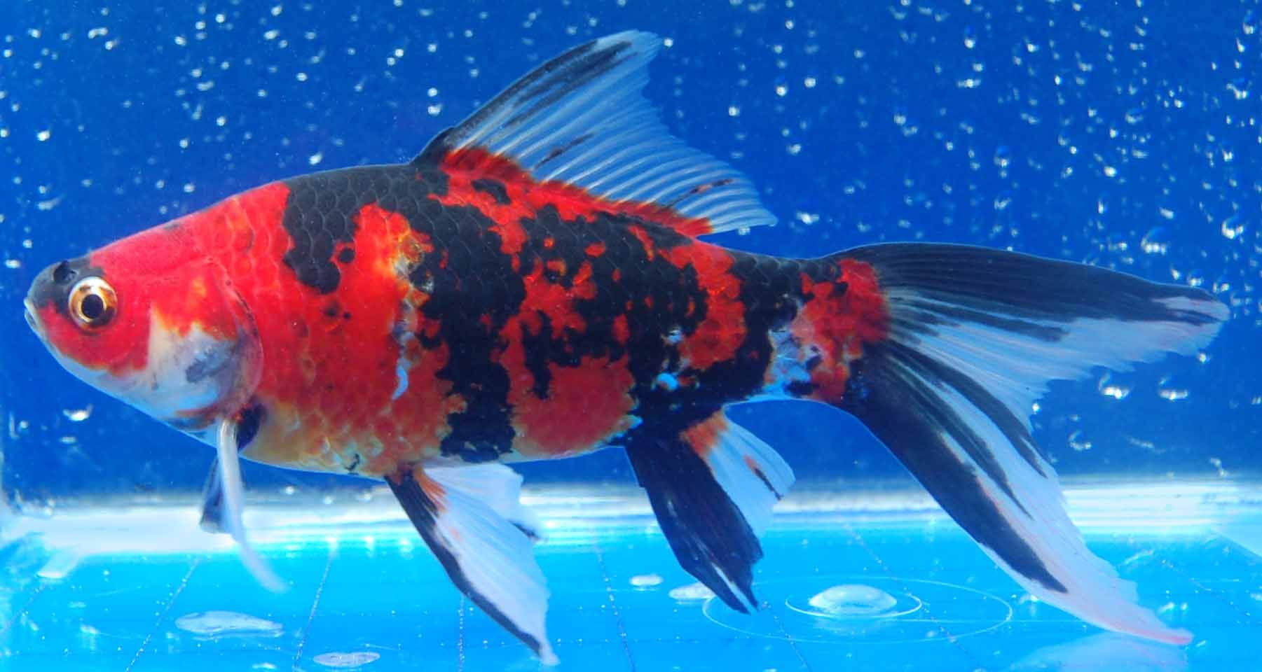 Calico goldfish goldfish ect pinterest for Goldfish varieties for ponds