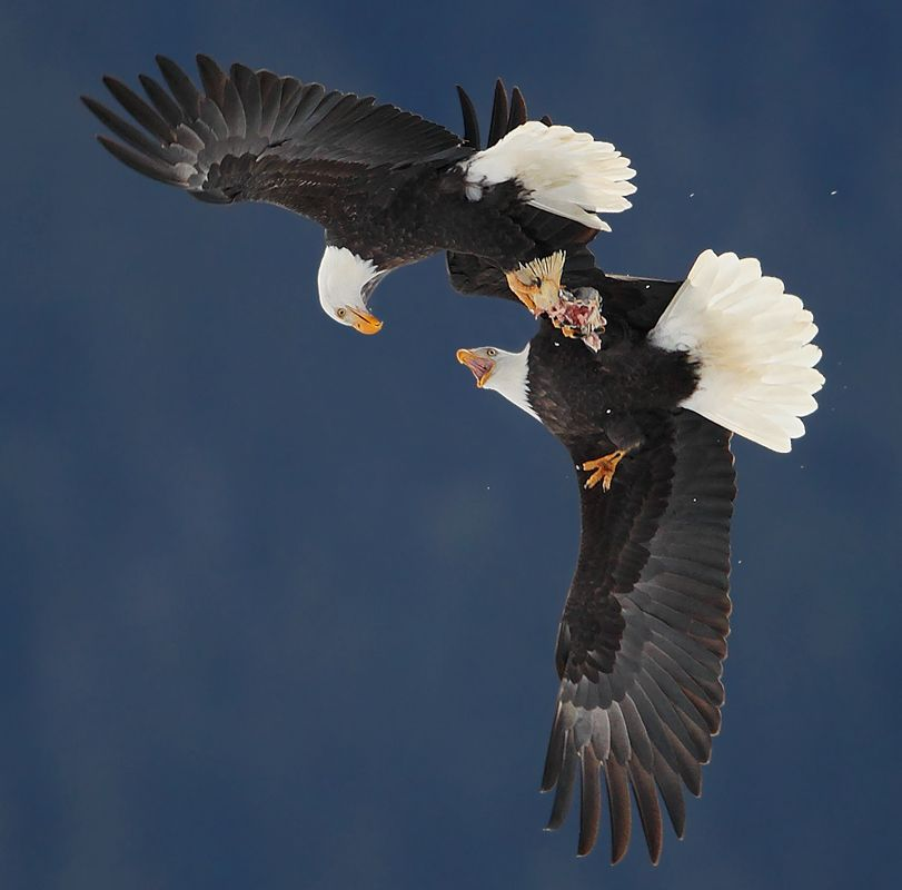 Bold eagle mating dance | Mating in animal world | Pinterest