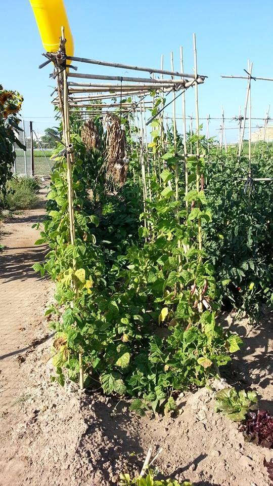 cultivando-judias-verdes