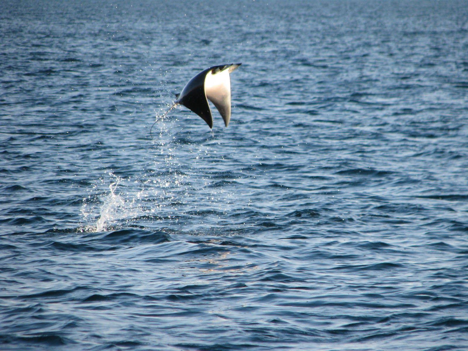 Manta Ray Jumping Manta Ray