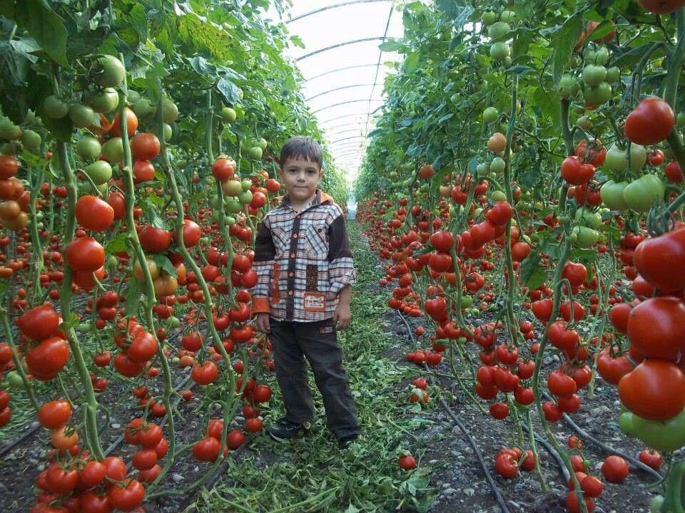 Prolific Tomato Plant Variety Gardening Pinterest 640 x 480