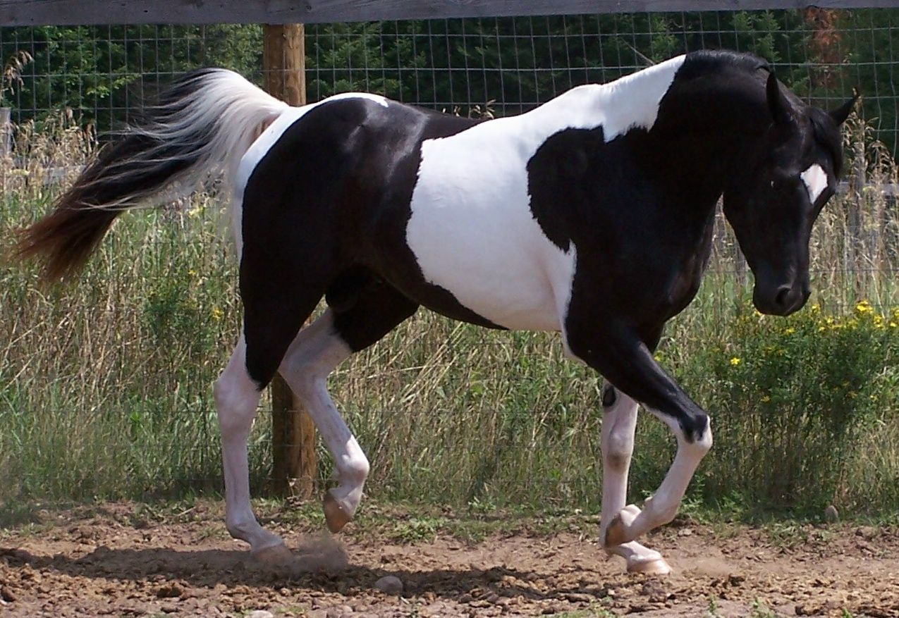 Black And White Paint Horse Wallpaper For Kids