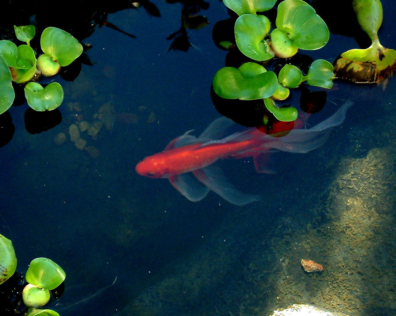 Goldfish pond carassius pinterest for Goldfish pond