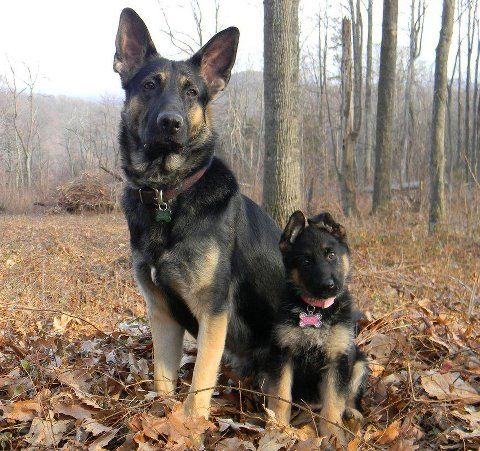 Rick ford german shepherds Shepherds motors