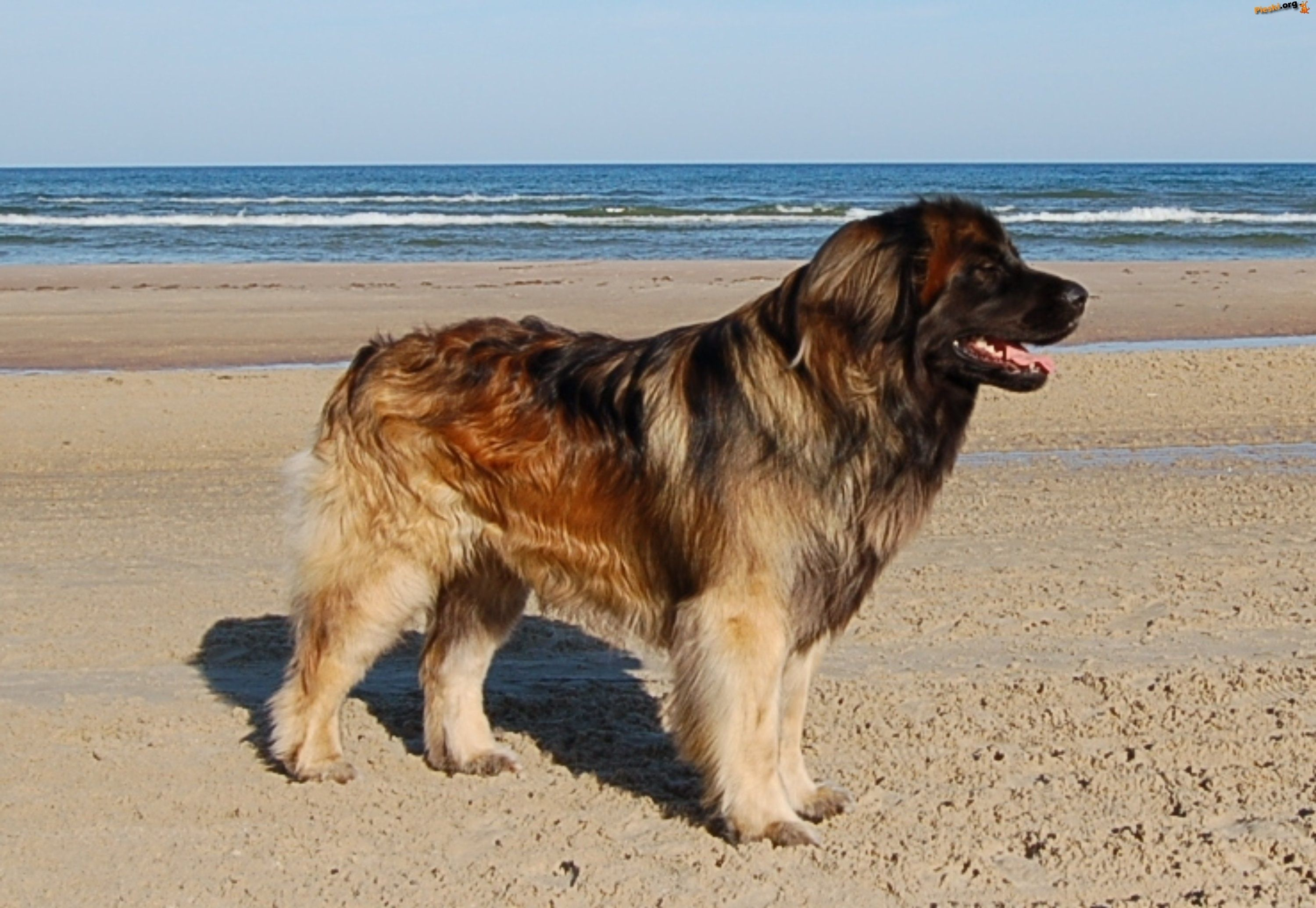 The Leonberger, a rare giant breed dog with a wonderful ...