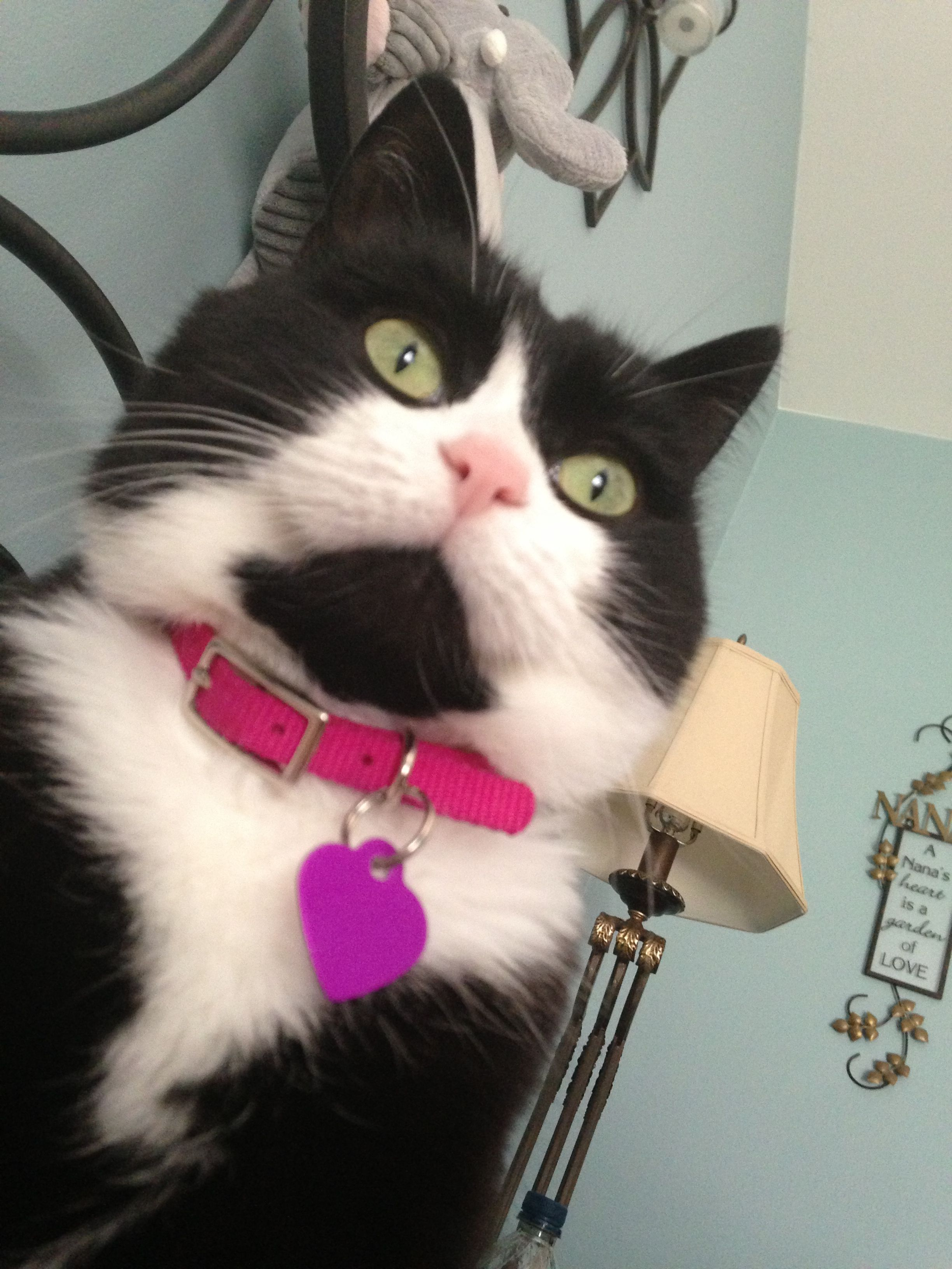 sphynx cat adoption texas