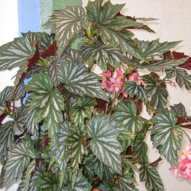 Angel Wing Begonia | Beautiful Begonias | Pinterest