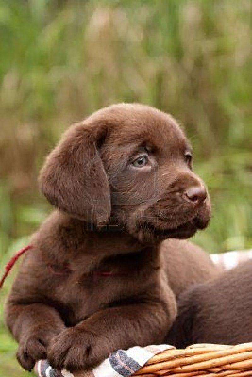 cute chocolate labrador retriever - photo #45