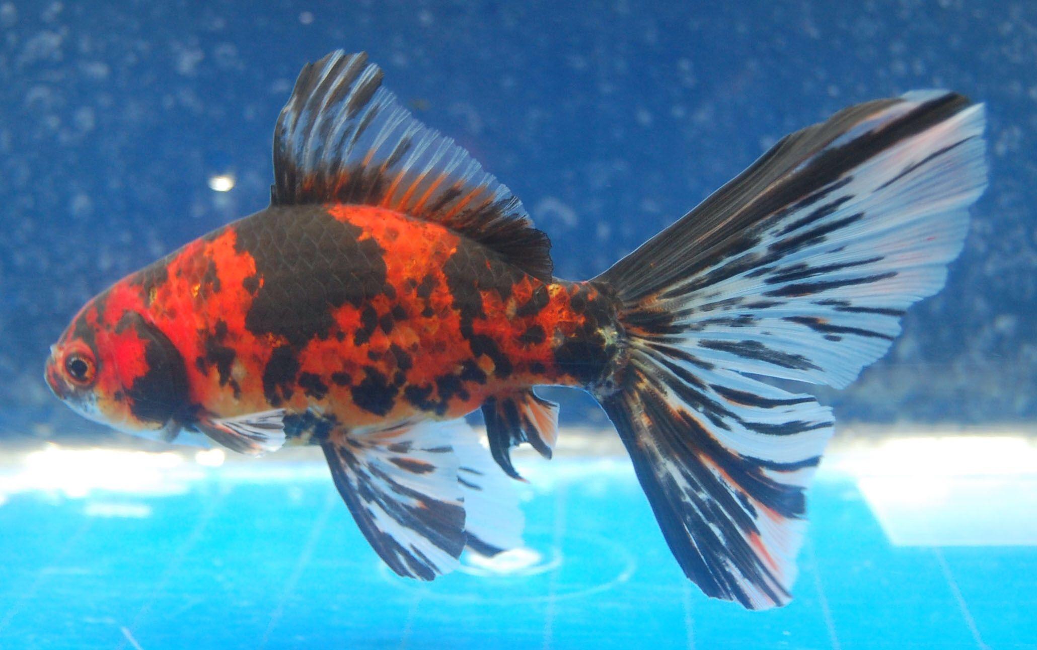 Goldfish vibrant shubunkin goldfish for the pond for Shubunki fische