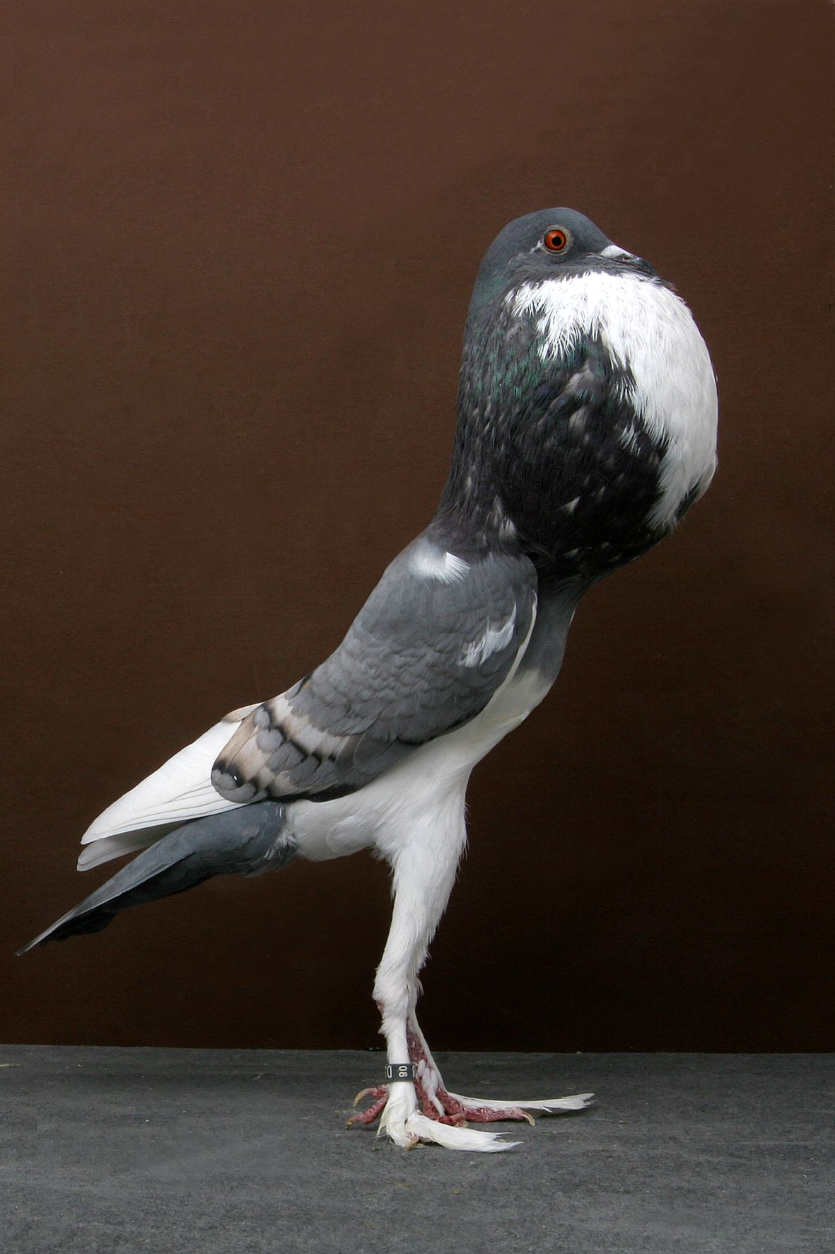 Pigmy Pouter Pigeon   things that make me happy   Pinterest