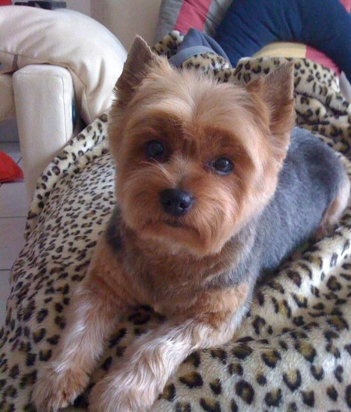 Short Haircut Yorkie Hair Cuts Pinterest