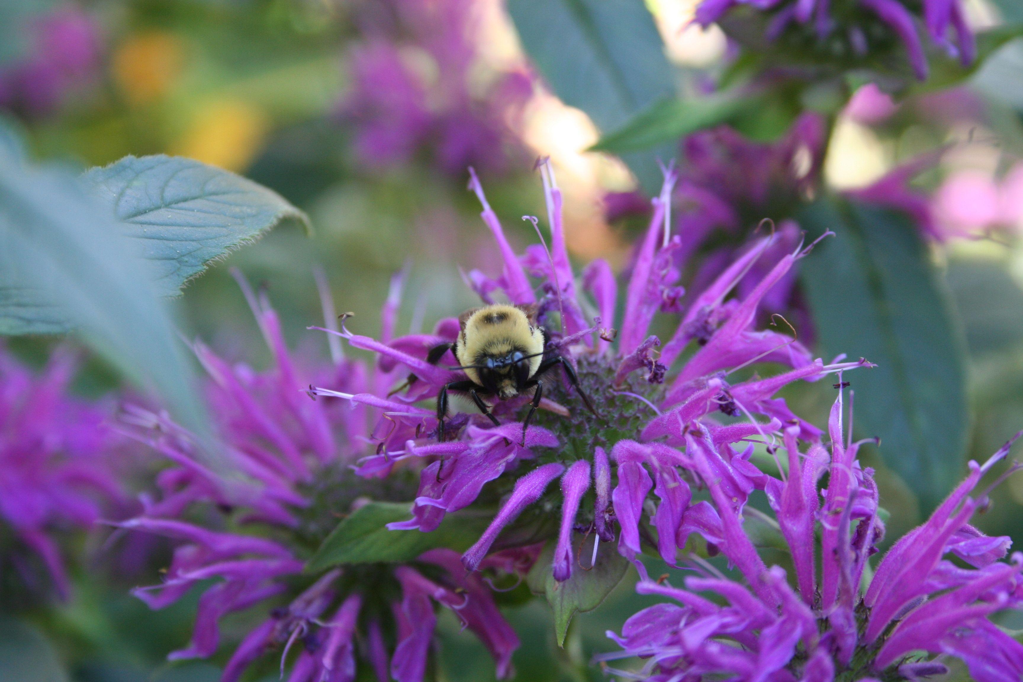 bee balm plant | Garden | Pinterest