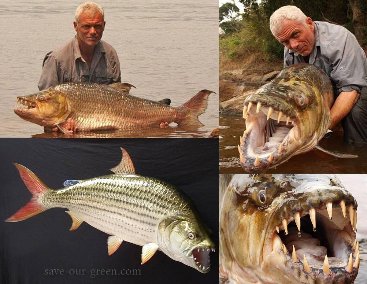 Goliath tiger fish eating crocodile
