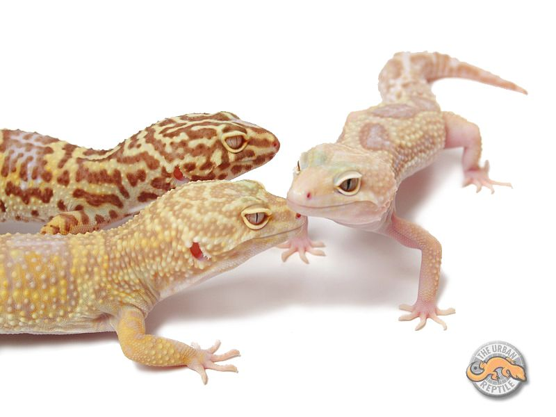Jungle albino leopard gecko