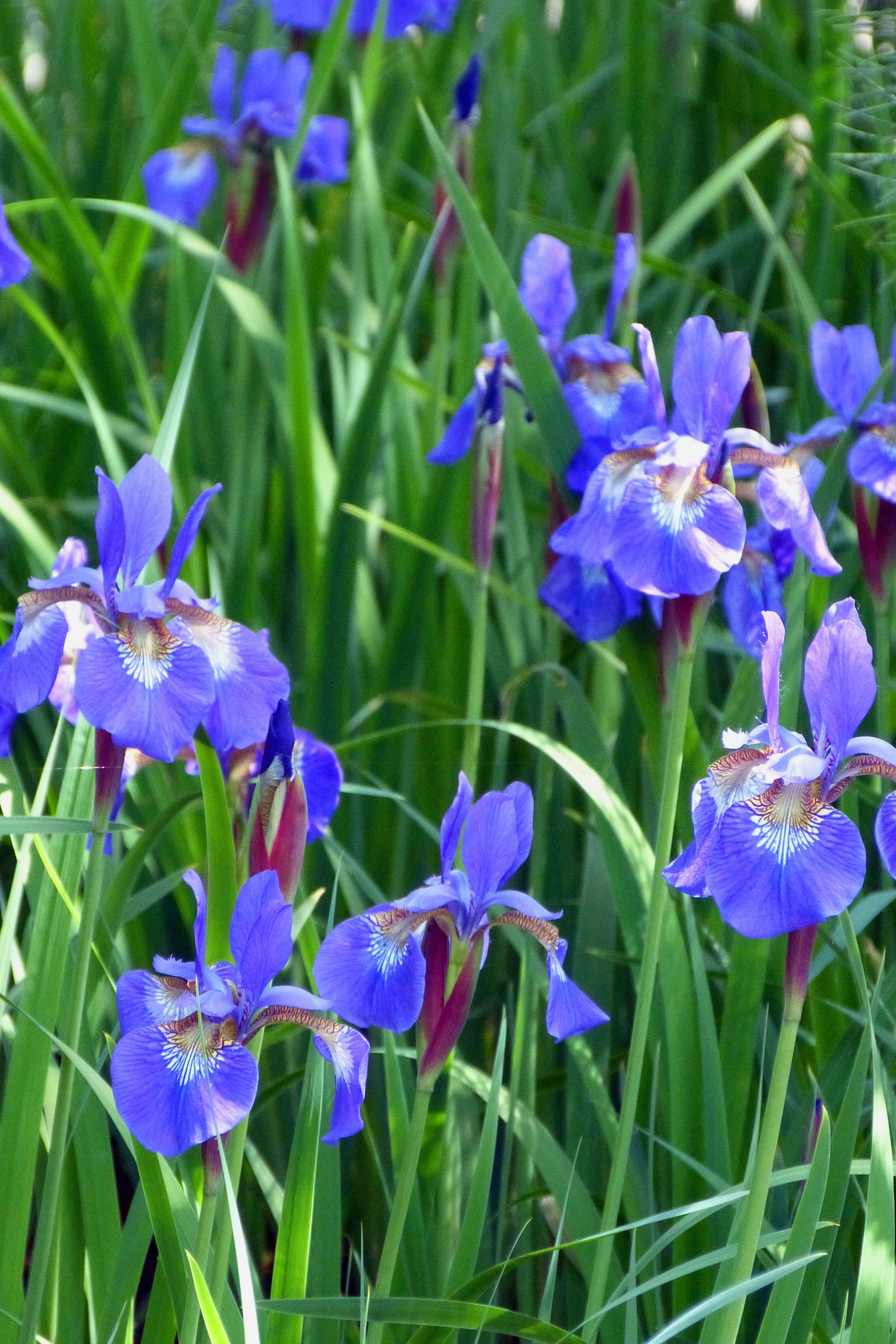 Siberian iris mon jardin d 39 iris pinterest for Aubade jardin d iris
