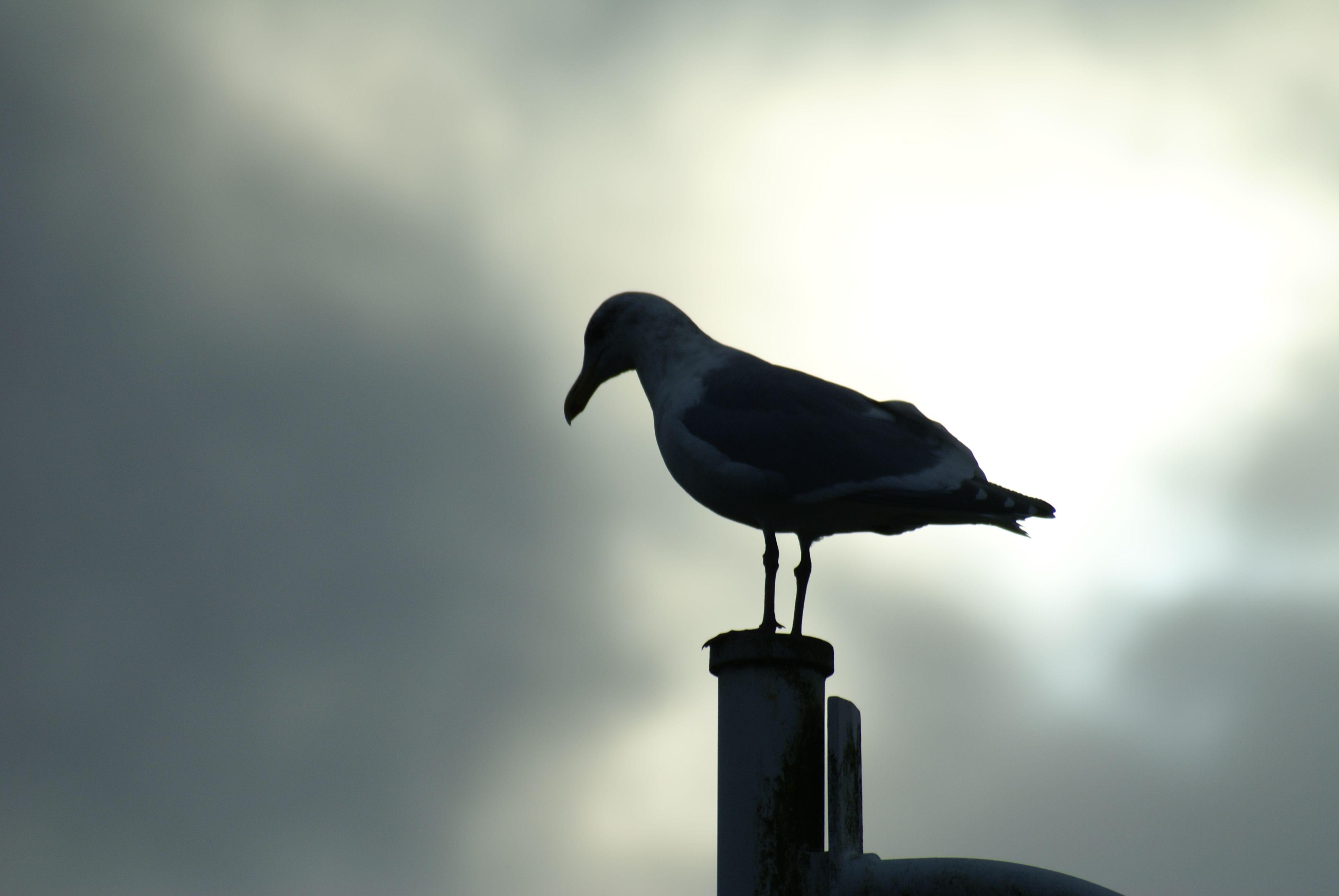 seagull silhouette | Animal Photos | Pinterest