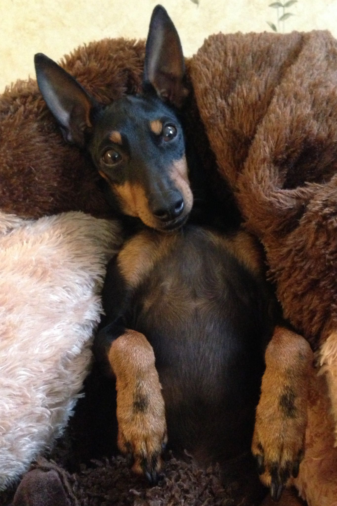 manchester toy terrier - photo #48