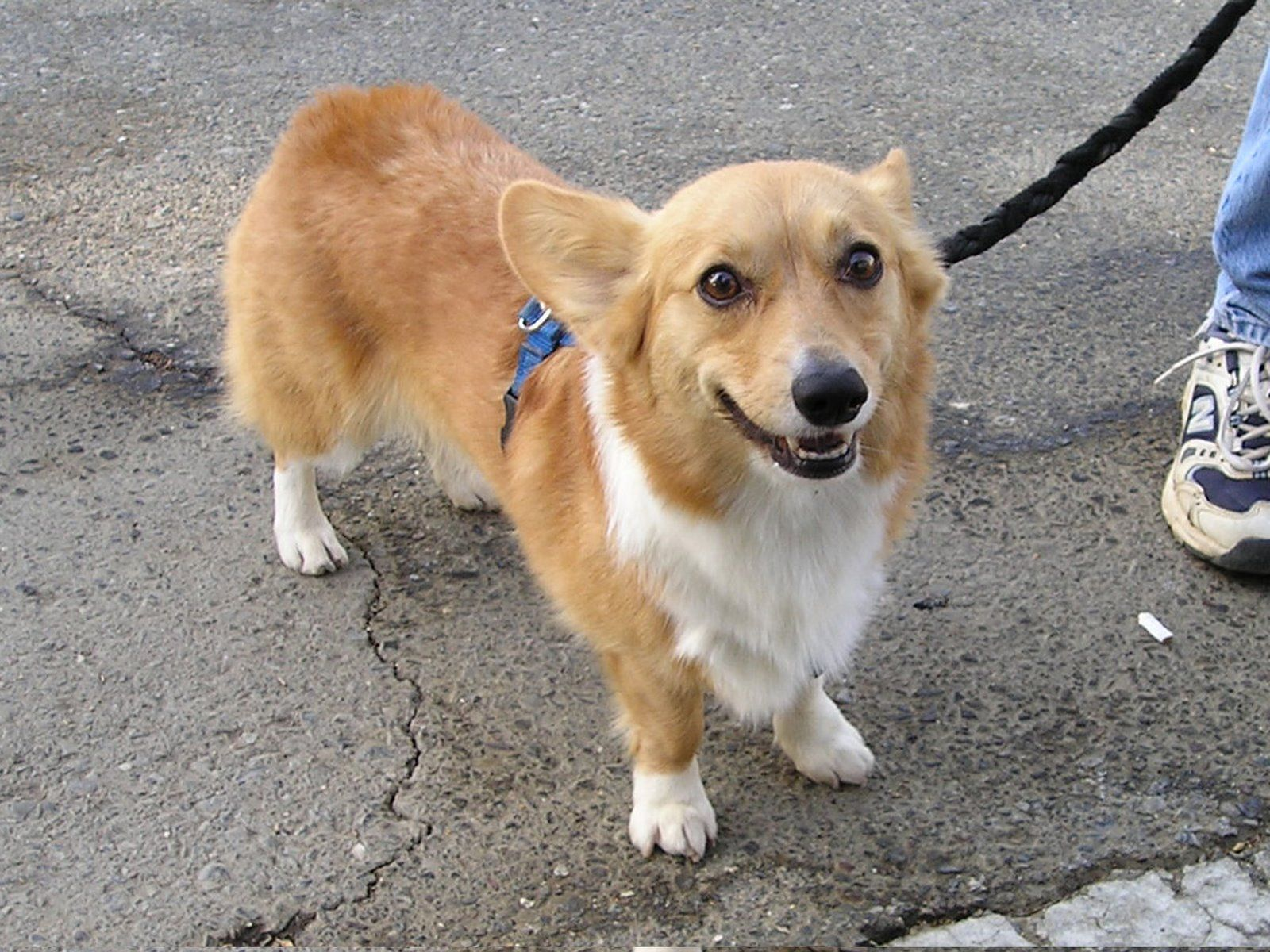 Maltese corgi mix pictures Here s some