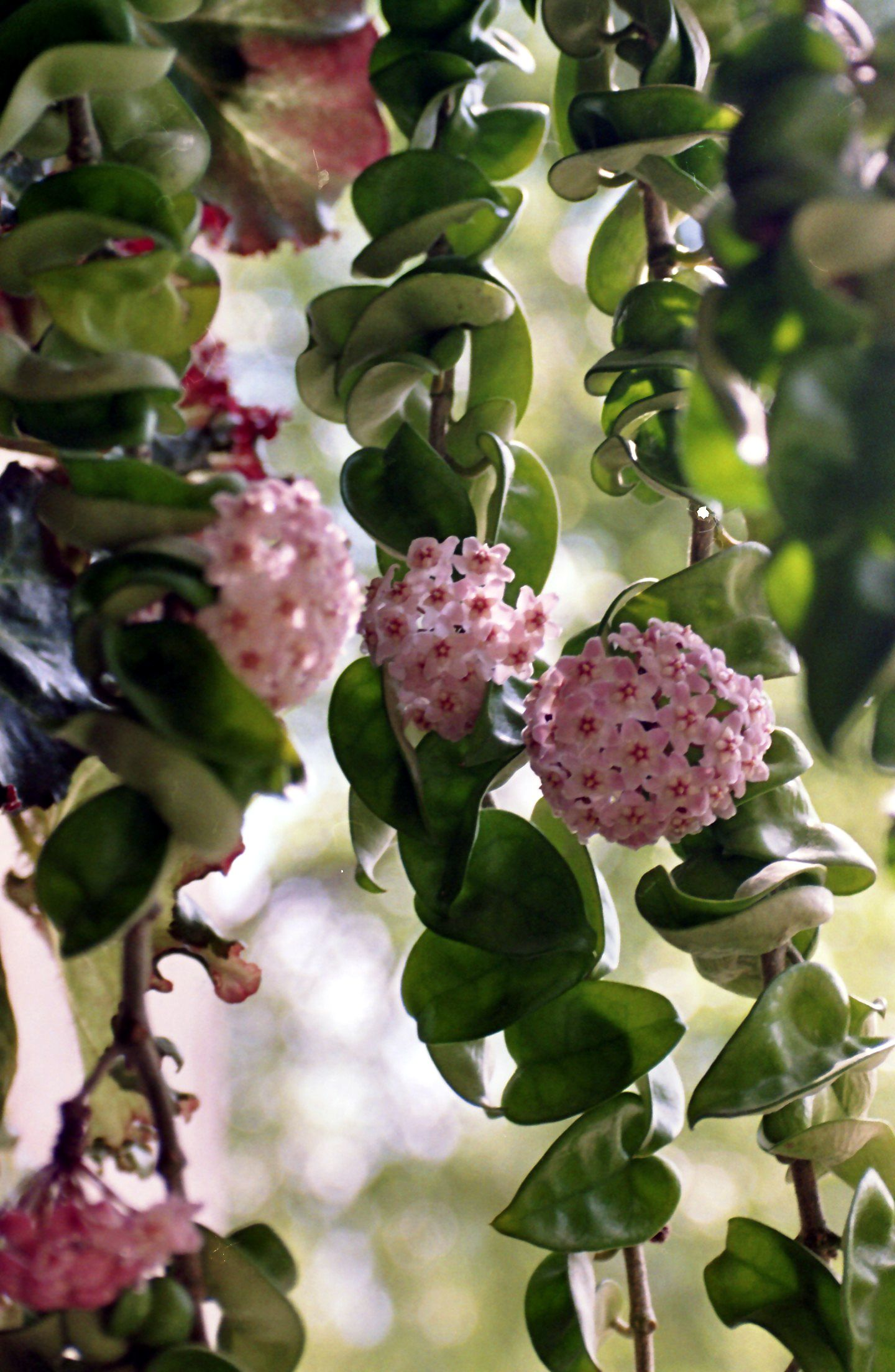 Hoya Pflege  Pflanzenfreunde