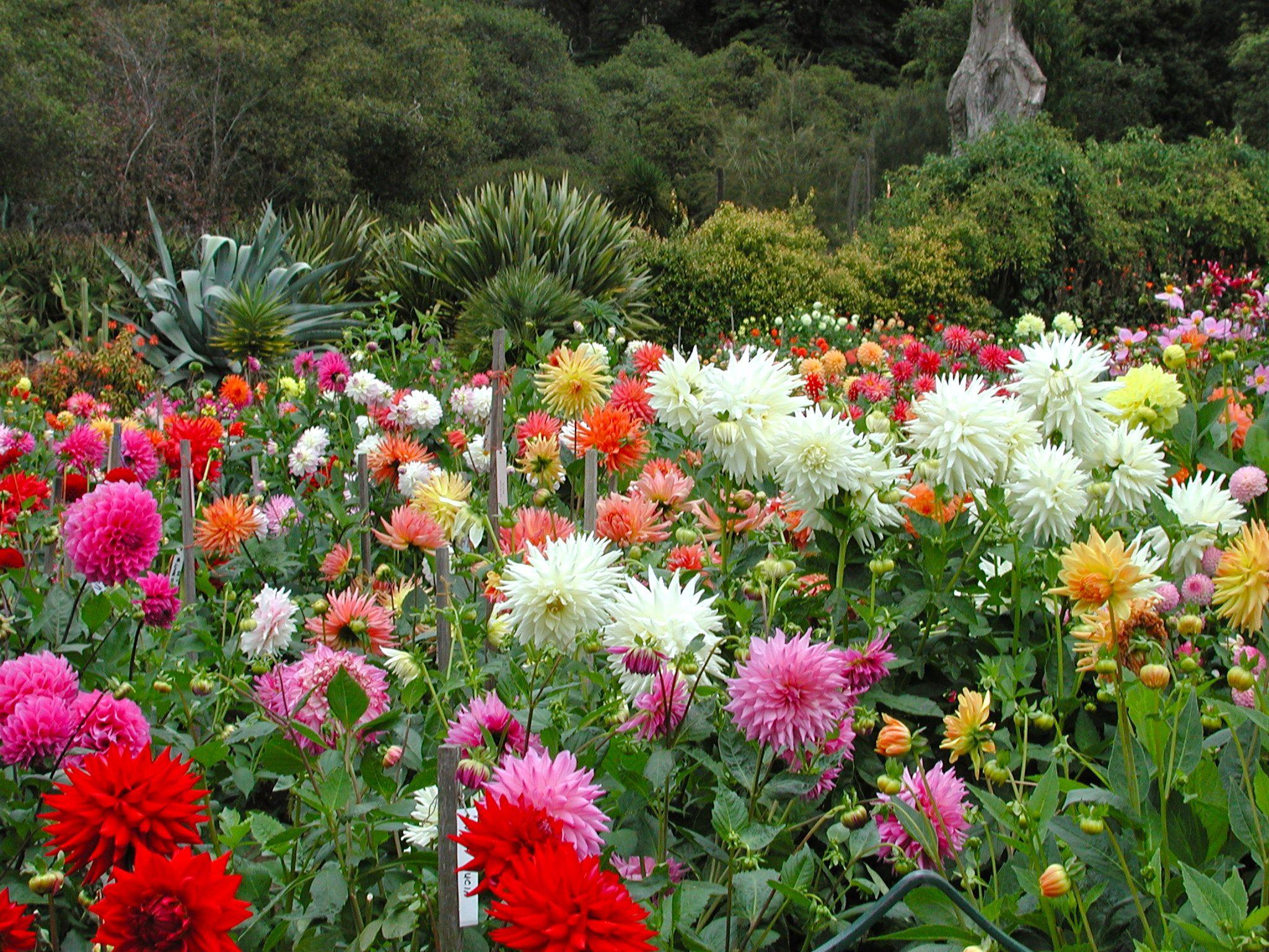 dahlia garden sfc landscaping ideas pinterest
