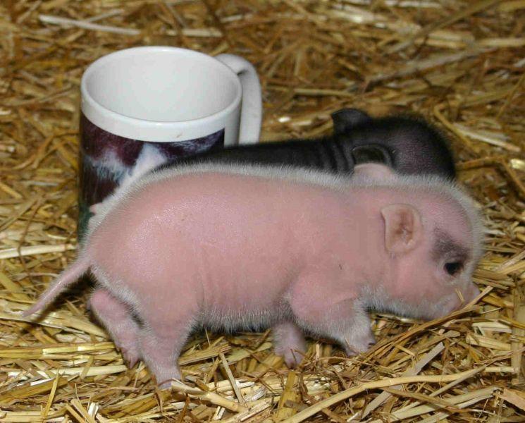 Black micro mini pigs