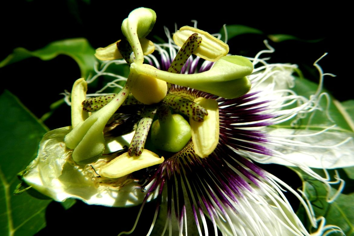 Passion Flower beautiful and unique flowers