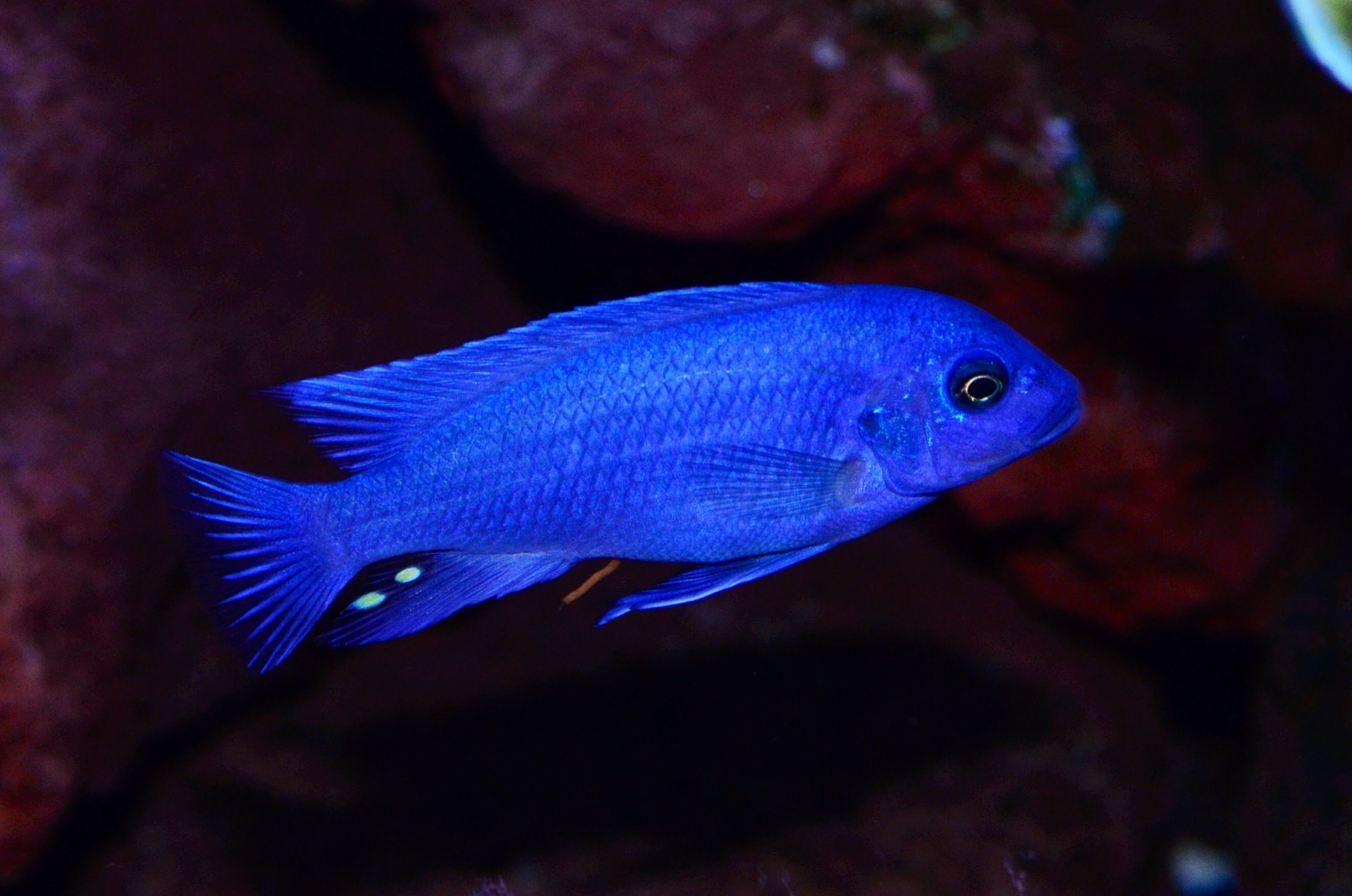 Blue freshwater fish