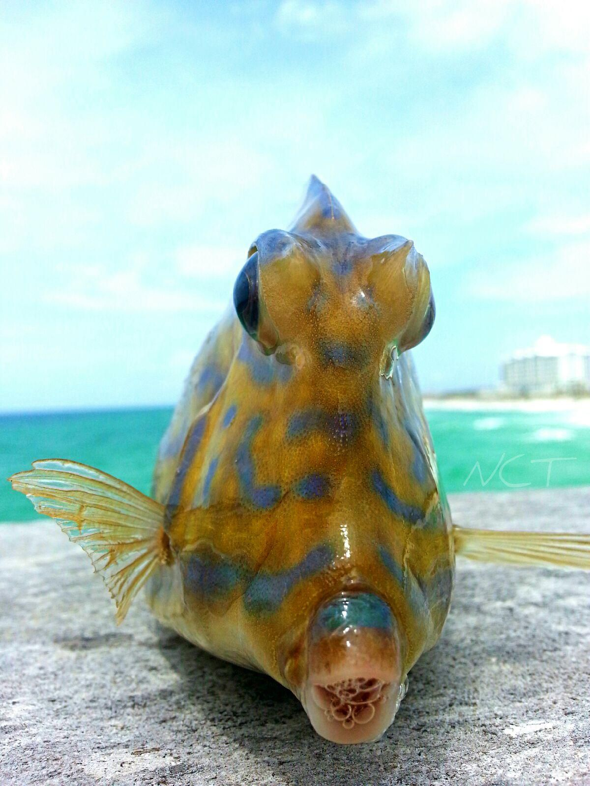 Trigger fish gulf of mexico into the water for Florida gulf fish