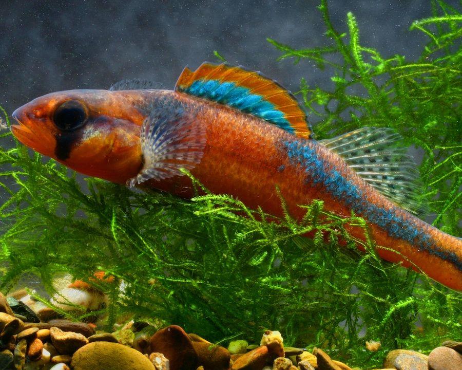 slackwater darter north american native freshwater