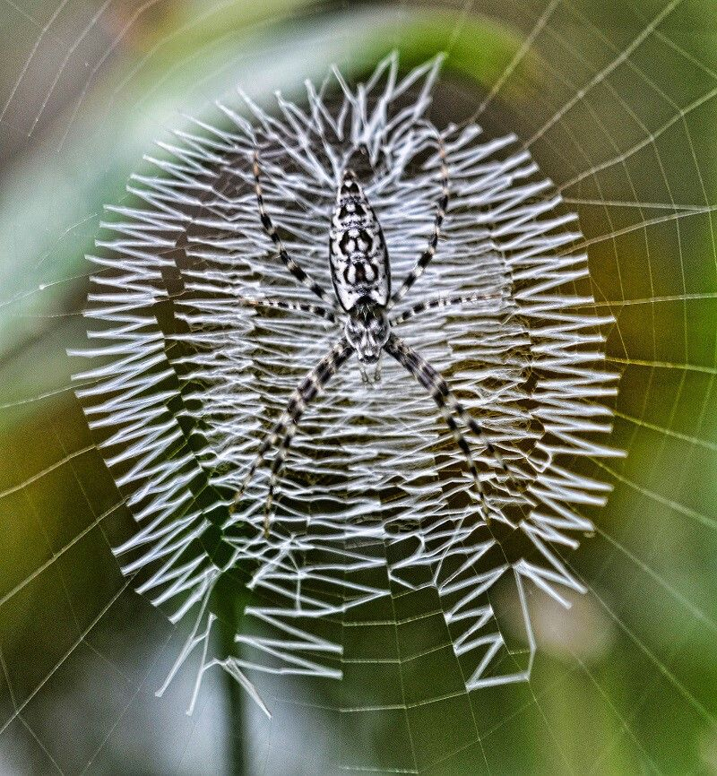Argiope Known As The Writing Spider Butterflys Insects Pintere