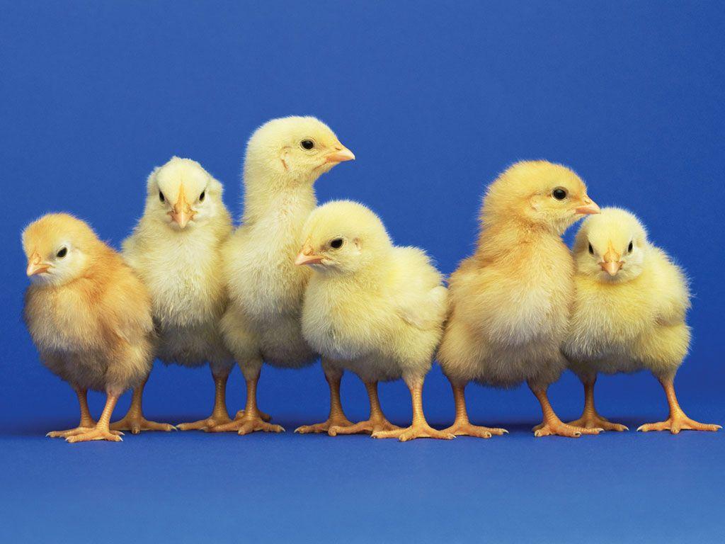 fluffy yellow baby chicks | Farm Animals | Pinterest