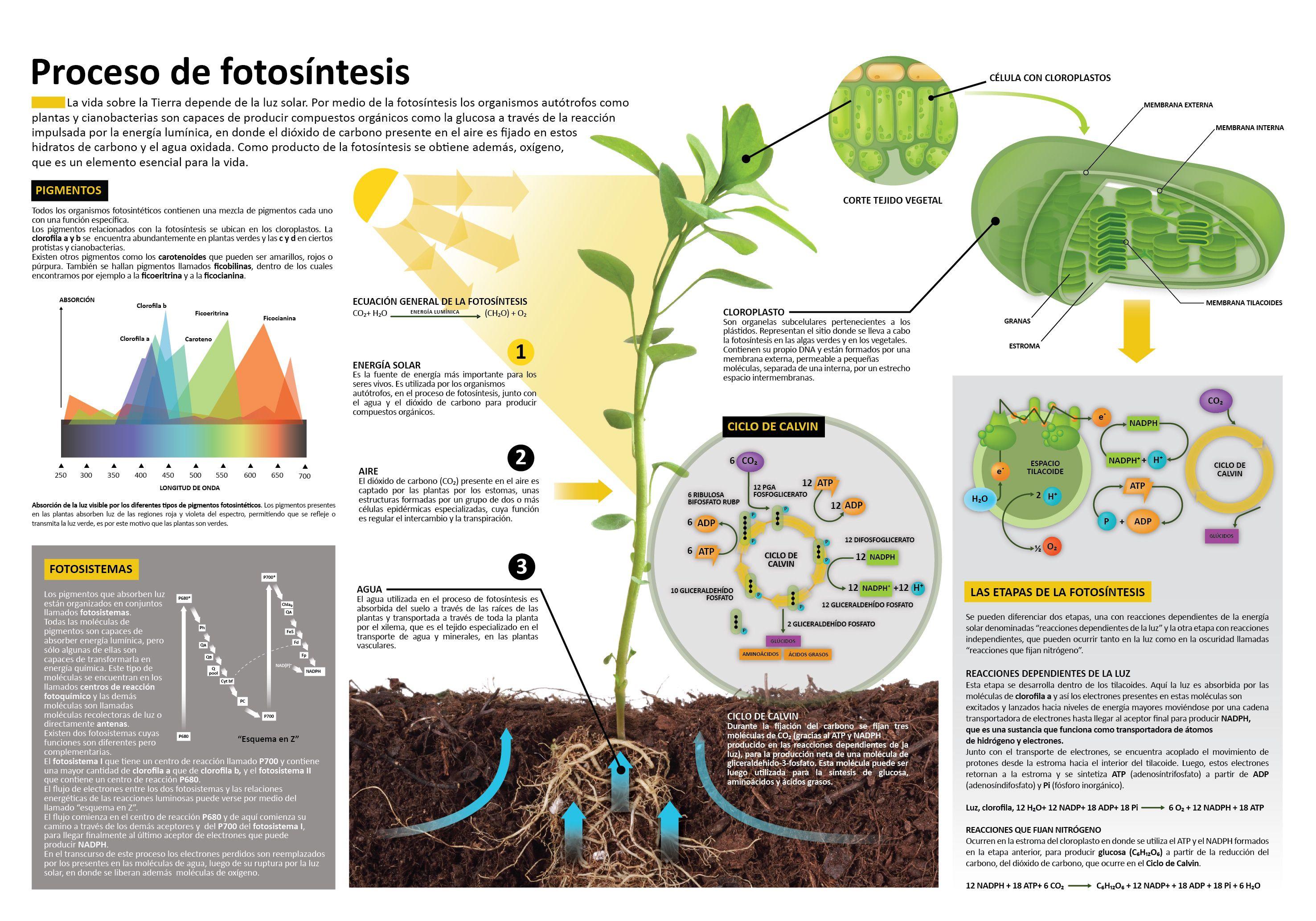 Fotosintesis y sus etapas 68