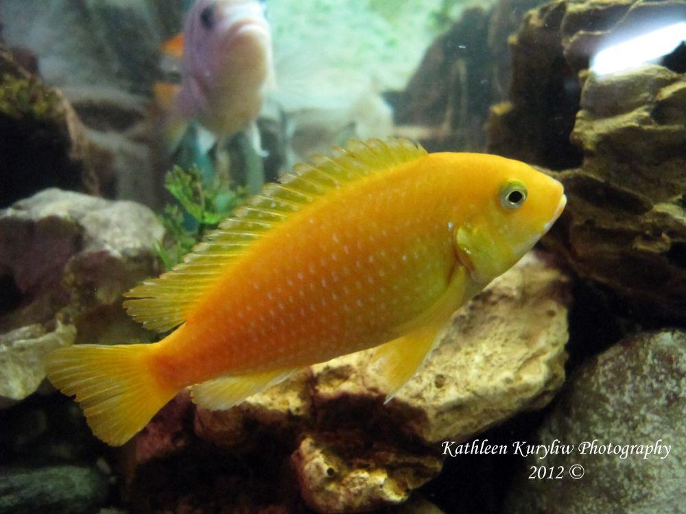African cichlid fish in my tank aquarium pinterest for African cichlid fish
