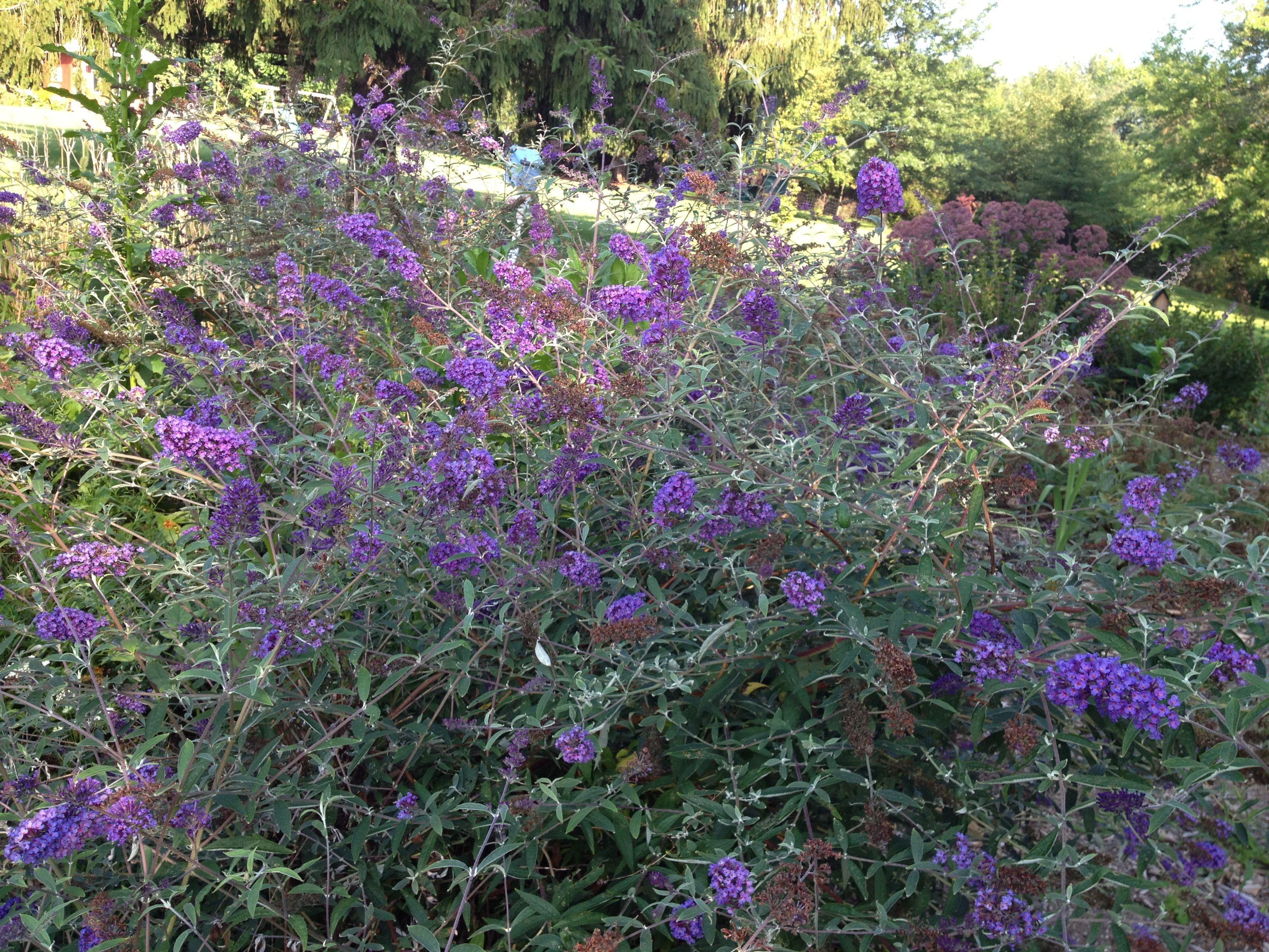 Purple Butterfly Bush purple passion