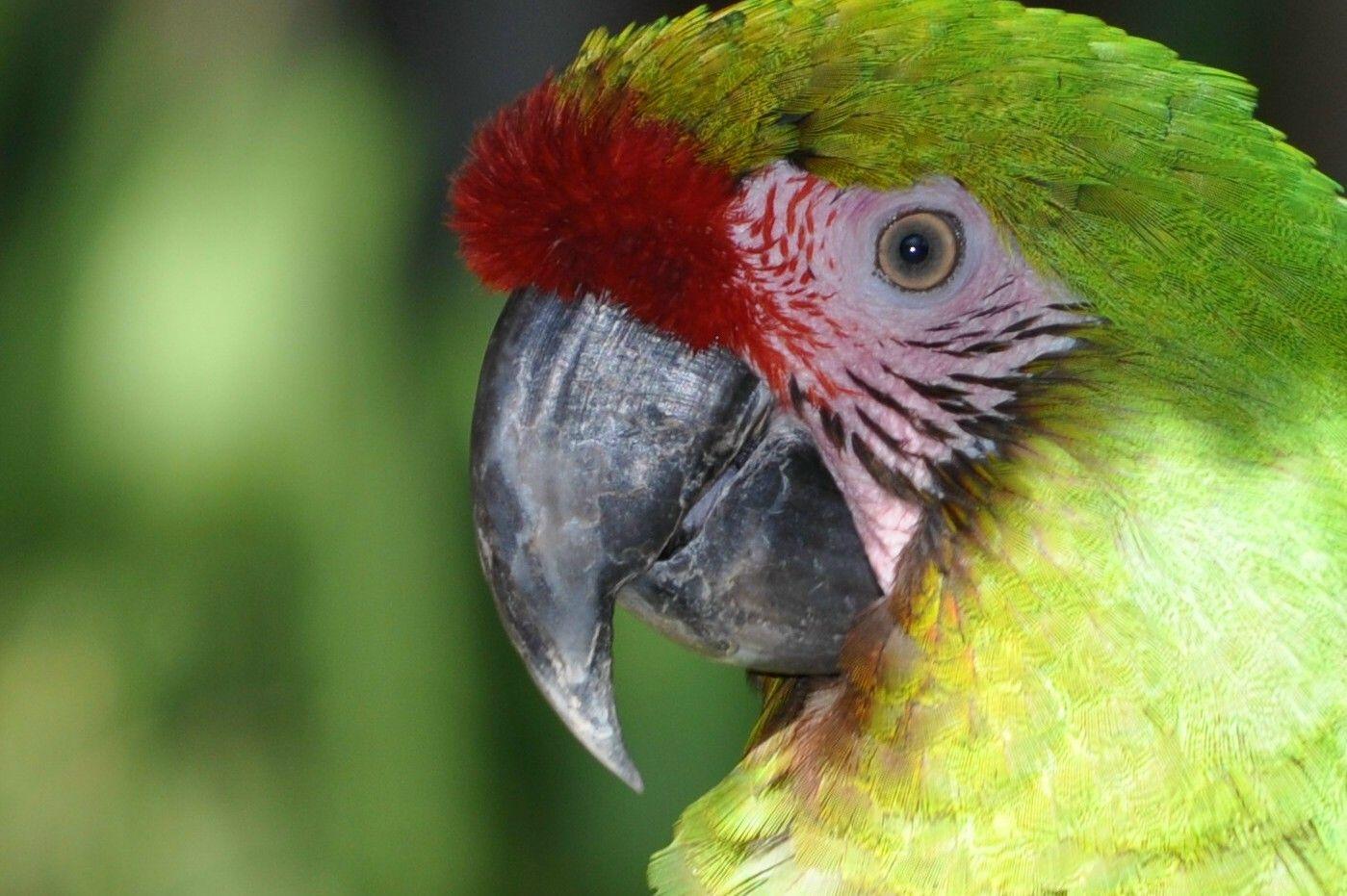 pin blue macaw bird - photo #36