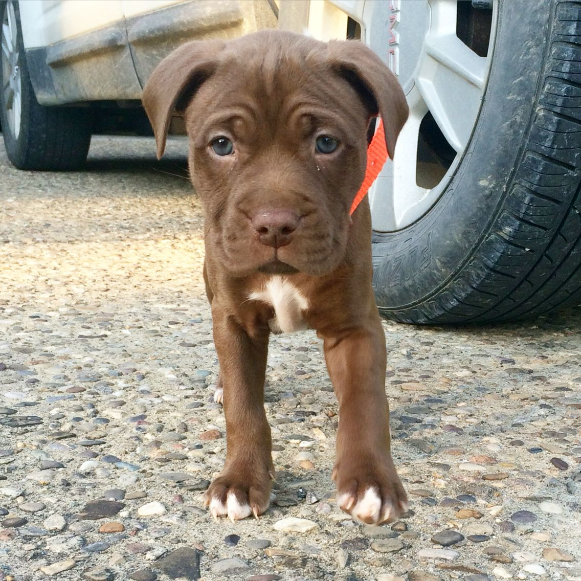 Pit bull chocolate lab mix puppy