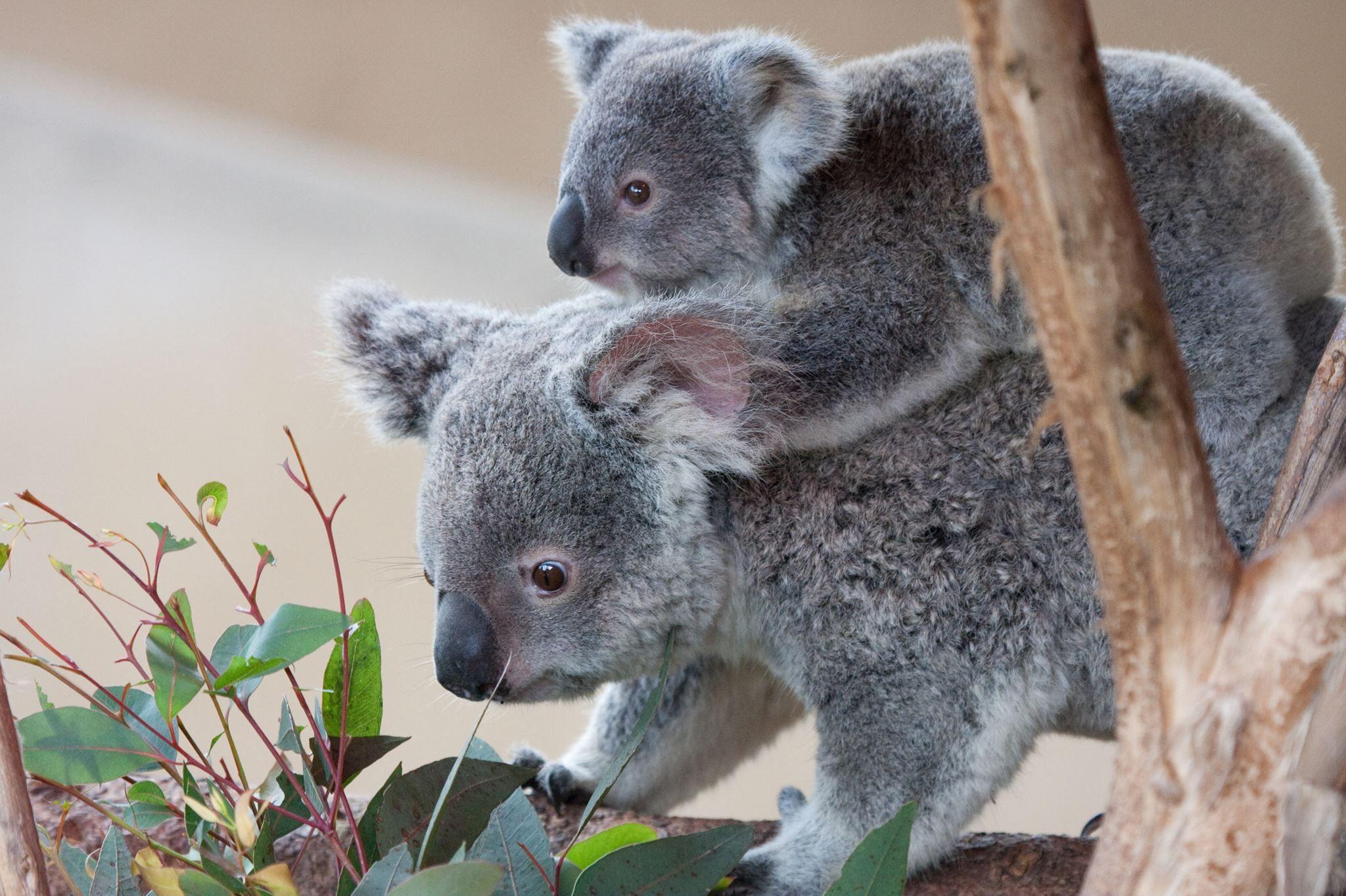 Mum baby koala australian koalas pinterest - Pics of baby koalas ...